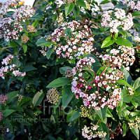 viburnum_eveprice_flower